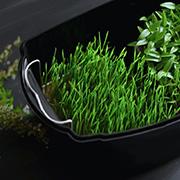 Домашняя микрозелень в микроферме Dream Sprouter SDM-02