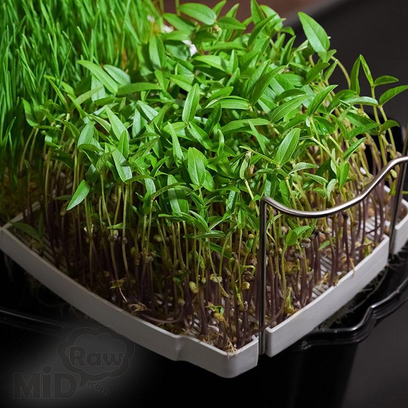 Как правильно проращивать зёрна в домашних условиях пшеница рожь овёс