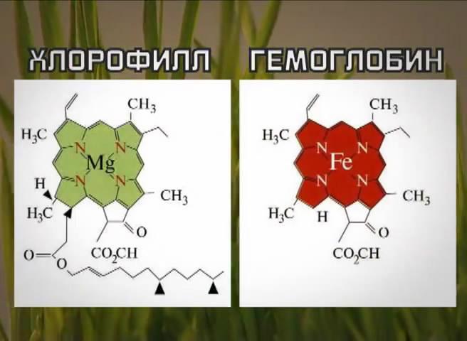 хлорофил и гемоглобин содержатся в веганском меню